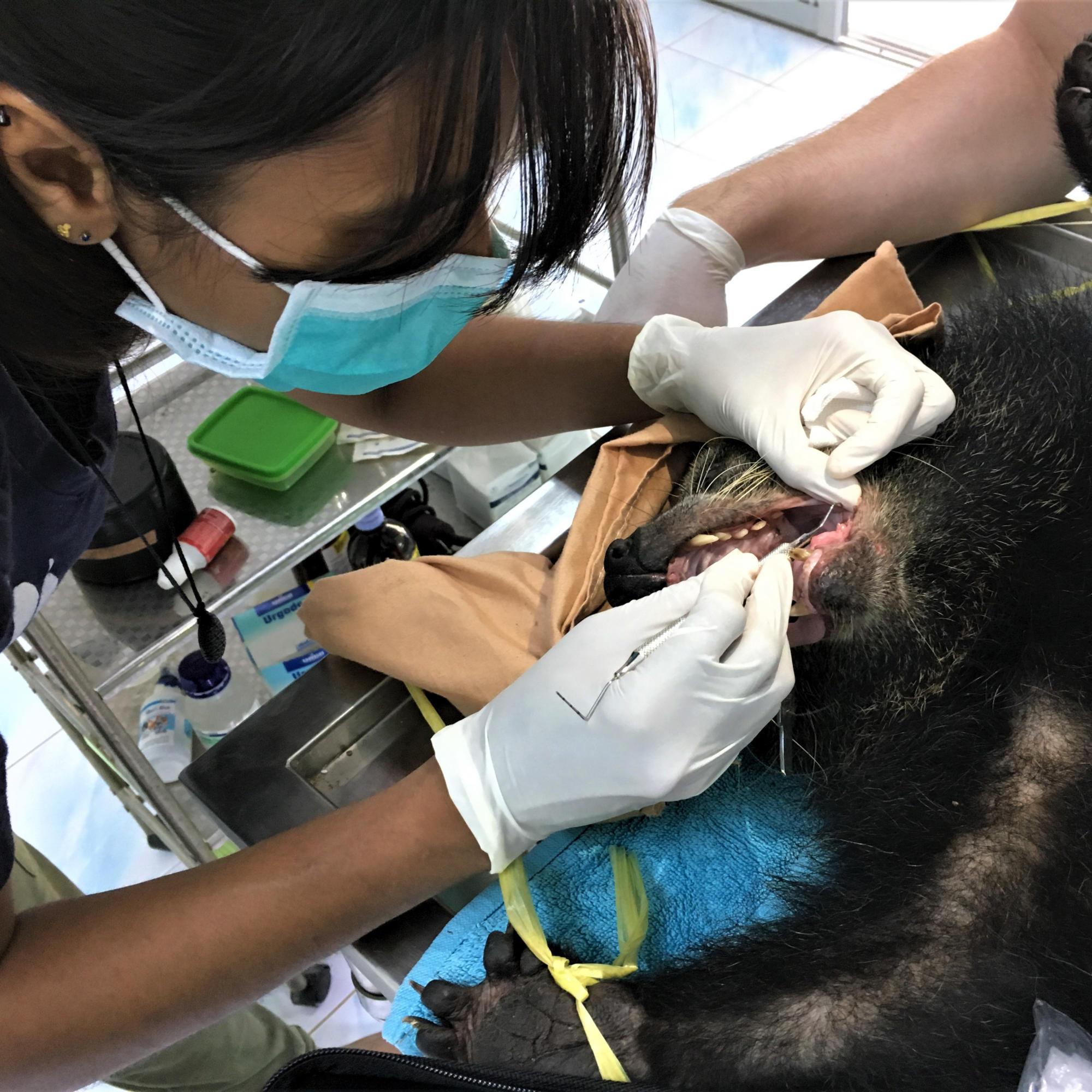 A vet cleans a bear's teeth