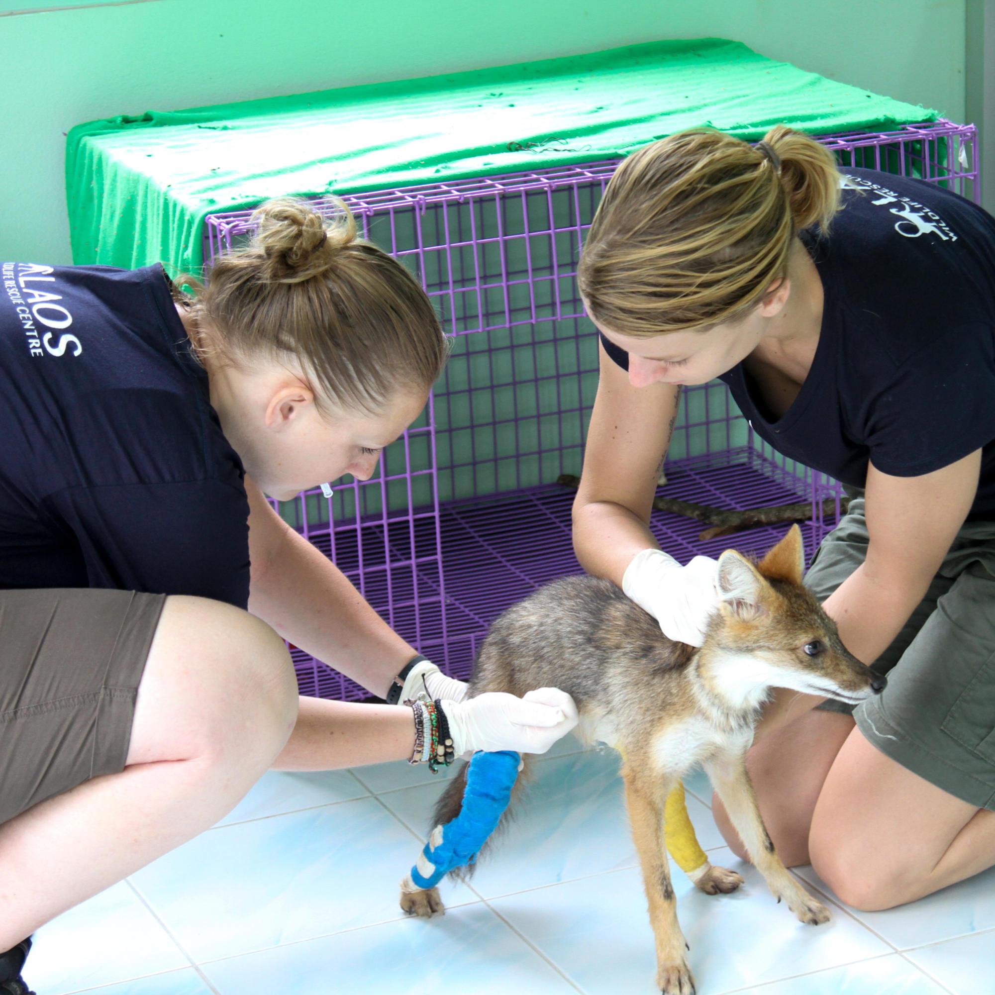 Vet nurses treat a jackal