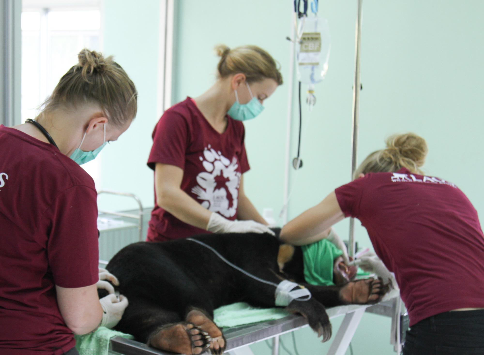 Vets and vet nurses treat a bear at the wildlife hospital